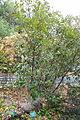 Notholithocarpus densiflorus var. echinoides - Regional Parks Botanic Garden, Berkeley, CA - DSC04274.JPG