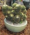 Notocactuswarasii.jpg