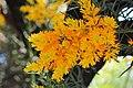 Nuytsia floribunda - Flickr - jeans Photos (2).jpg