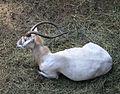 Nyíregyháza Zoo, antilop.jpg