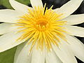 Nymphaea ampla-IMG 4577.jpg