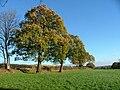 Oak Trees on a field Boundary - geograph.org.uk - 284852.jpg