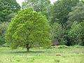 Oak tree in a Pimlico field - geograph.org.uk - 176272.jpg