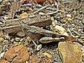 Oedipoda caerulescens (Acrididae) - (imago), Molenhoek, the Netherlands.jpg