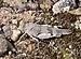 Oedipoda caerulescens qtl3.jpg