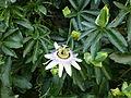 Ohrid - garden flower - P1100847.JPG