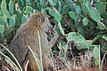 Olive Baboon Eating.jpg