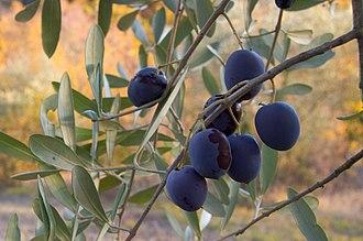 Timeline of food - Ripening olives