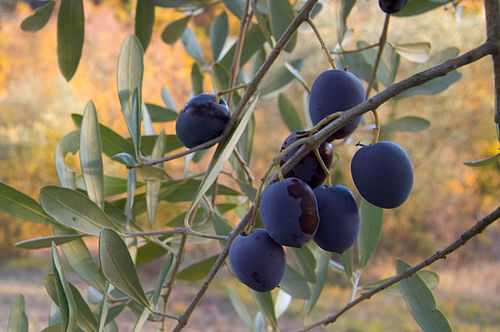 Olive fruit on the branch (2007).jpg