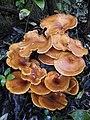 Omphalotus olearius (DC.) Singer 471657.jpg
