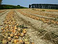 Onions in Saint Marcan - panoramio.jpg