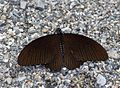 Open wing position of Papilio castor Westwood, 1842 – Common Raven.jpg