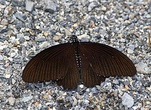 Papilio castor - Image: Open wing position of Papilio castor Westwood, 1842 – Common Raven
