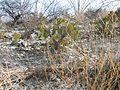Opuntia microdysis (5780542480).jpg