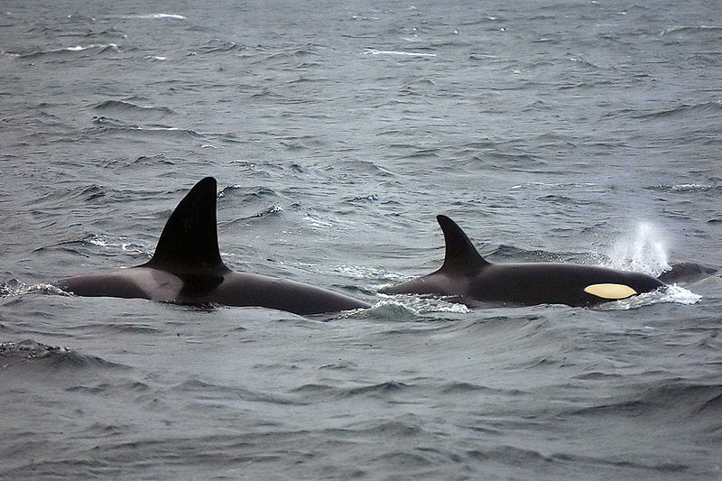File:Orca lofoten male female.jpg
