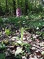 Orchis purpurea sl34.jpg