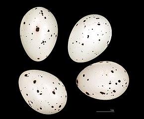 Vlha hájová - vajíčka