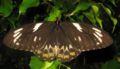 Ornithoptera euphorion female open.jpg