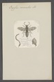 Oryssus - Print - Iconographia Zoologica - Special Collections University of Amsterdam - UBAINV0274 047 04 0003.tif