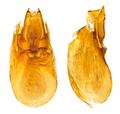 Othius crassus Motschulsky, 1858 Genital (16456810629).png