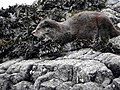Otter at Calgary Bay (45322553264).jpg