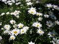 Oxeye daisy-oliv.jpg