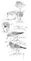 Paarse strandloper Calidris maritima Jos Zwarts 1.tif