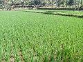 Paddy field in Tamilnadu.jpg