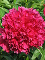 Paeonia 'Best Man' 12.JPG