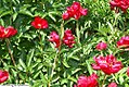 Paeonia Red Goddess 2zz.jpg