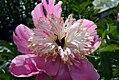 Paeonia lactiflora Doreen 2zz.jpg