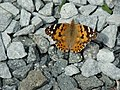 Painted Lady butterfly in my nan's garden - geograph.org.uk - 1401172.jpg
