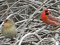 Pair of Northern Cardinals1.JPG