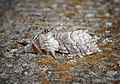 Pale Tussock (42281116552).jpg