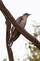 Pallid Cuckoo (Cacomantis pallidus) (8079609144).jpg