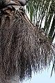 Palmchat (Dulus dominicus) (8082771737).jpg