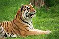 Panthera tigris at the Bronx Zoo 010.jpg