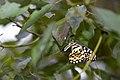 Papilio demoleus Linnaeus, 1758 (23938421922).jpg