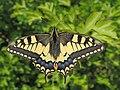 Papilio machaon (18122037943).jpg