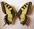 Papilio machaon female.jpg
