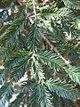 Parc Olbius Riquier - Sequoia sempervirens (foliage) 1.jpg