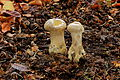 Parelstuifzwam (Lycoperdon perlatum). Locatie, Hortus (Haren, Groningen) 07.JPG