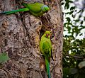 Parrots on their little nest.jpg