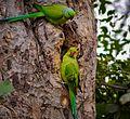 Parrots on their little nest.jpg