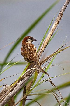 Italian sparrow - Male in Crete