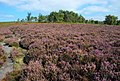 Path through the heather on Birchen Edge - geograph.org.uk - 551389.jpg