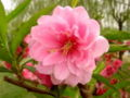 Peach Flower TJ1.jpg