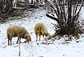 Pecore D'inverno.jpg