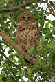 Pel's fishing owl, Scotopelia pel, at uMkhuze Game Reserve, kwaZulu-Natal, South Africa (15196441140).jpg