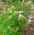 Pelargonium graveolens 3.jpg